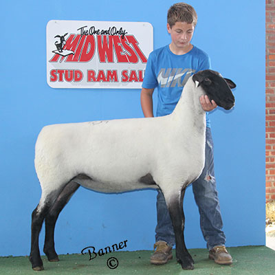 A select yearling ewe sold to Allan Miller, WI