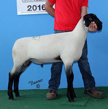 first march ram lamb