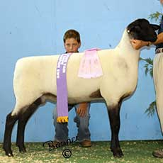 Reserve Champion Ewe at the Illinois State Fair