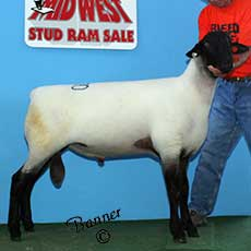 6th Place fall ram lamb sold to Hukowicz Farm Suffolks