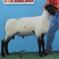 3rd Place Late February Ram Lamb sold to Wishing Well Farms